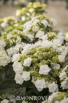 Monrovia's Double Delights™ Wedding Gown Hydrangea details and information. Learn more about Monrovia plants and best practices for best possible plant performance.