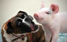 boxer & piggy. My two favorite things.