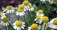 Heřmánek pravý -  Chamomilla recutita heřmánek na zahradě? proč ne, množí se samovýsevem....