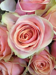 Close up of the Rose 'Dividend'. Sold in bunches of 20 stems from the Flowermonger the wholesale floral home delivery service.
