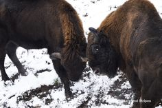 Two bull wisent, also known as the European bison, playfully challenge eath other in this winter's first snow at the Betzenberg Wildlife Park in Kaiserslautern, #Germany, Dec. 3, 2014. (Joshua L. DeMotts/Stars and Stripes) #bulls #wildlife #winter #snow