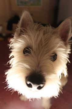 westies are the Dogs Highlands Terrier, West Highland Terrier, Terrier Breeds, Baby Dogs, Doggies, White Terrier, White Dogs, Westies, Little Dogs