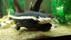 My own red tail catfish. Warning owning this guys they will eat everything.