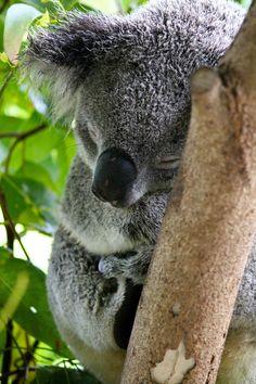 A beautiful sleeping koala in Australia. Can I keep him?