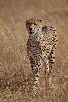 Cheetah (by Gerry Ellis)