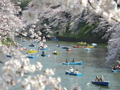 MAGICAL: Japan's cherry blossoms in full bloom | News.com.au