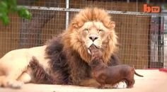 Lion Named 'Bonedigger' and Small Dog Make Most Unlikely Companions @Cat Hauger must look at this!!!