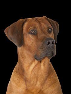 Rhodesian Ridgeback Rassebeschreibung, beliebte Hunderasse, Hunderassen für Familien, Hunderasse die sehr beliebt sind in Deutschland und Österreich Jack Russell Terrier, Yorkshire Terrier, Rhodesian Ridgeback, Labradoodle, Australian Shepherd, Chihuahua, Pitbulls, Dogs, Animals