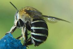 Australian blue banded bee - photo by Aussie Bee. Bees In House, Stingless Bees, Next Flowers, Carpenter Bee, Bee Photo, I Love Bees, Bee Tattoo, Picture Tattoos, Tattoo Pics