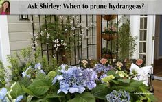 When do you prune hydrangeas? Garden designer and expert, Shirley Bovshow of the Home & Family show, answers!