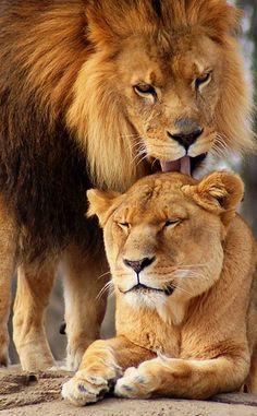 El rey leon y a su lado la reina :)