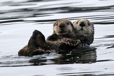 Mother and Baby Sea Otters | Flickr - Photo Sharing! | by Daniel Leifheit