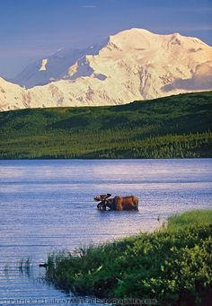 OP: Bull moose feeds in Wonder lake, snow covered mount McKinley in the distance, Denali National Park, Alaska. North To Alaska, Alaska Usa, Alaska Trip, Bull Moose, Seen, Photos Voyages, Le Far West, Fauna, Belle Photo