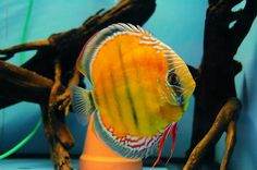 THIS is a beautiful fish! Big Aquarium, Discus Aquarium, Tropical Fish Aquarium, Discus Fish, Tropical Freshwater Fish, Freshwater Aquarium Fish, Discus Tank, Fish Tank, Beautiful Fish