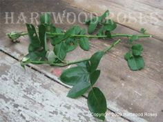I have tried just about every method out there to propagate roses from cuttings. This process, as taught to me by my friend Diana Klassy in...