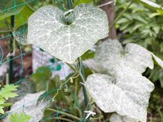 Powdery mildew Protect your plants from the dreaded powdery mildew. Plant pathologist Pippa Greenwood offers timely advice for powdery mildew. Powdery Mildew Treatment, What Causes Mold, Mold And Mildew Remover, List Of Vegetables, Garden Pests, Easy Garden, Garden Ideas, Backyard Projects, Outdoor Plants