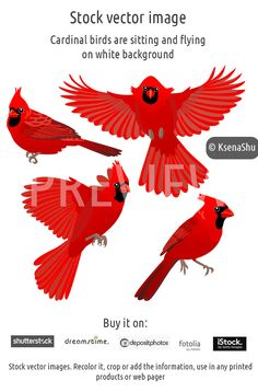 Cardinal birds are sitting and flying on white background. Stock vector image. #stock #vector #flying_bird #bird #redbird #cardinal #americanbird #vectoreps