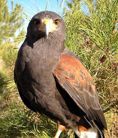 Cole's shifted form. HawkQuest Mature Male Harris' Hawk