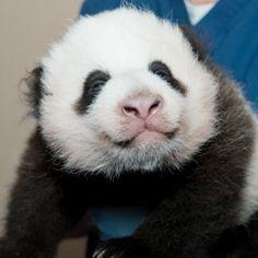 National Zoo's Panda Cub