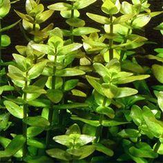 Bacopa Caroliniana live aquarium plant