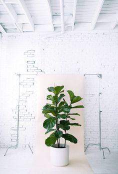 HOUSE PLANTS 101 - Fiddle Leaf Fig tree, similar light needs as rubber plant