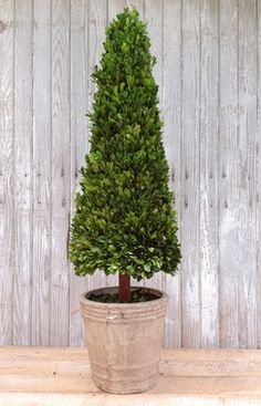 "Preserved Boxwood Cone Topiary - 43"" #homedecor"