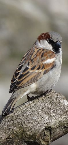Sparrows are weaver finch birds. There are several species of sparrow, some of which are associated with living nearby settlements of people, such as cities, suburbs, and farms. Pretty Birds, Love Birds, Beautiful Birds, Brown Sparrow, Sparrow Bird, House Sparrow, Sparrow Pictures, Bird Pictures, Brown Bird
