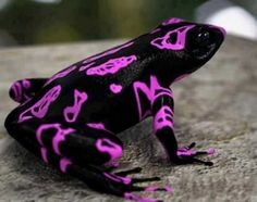 : la grenouille arlequin