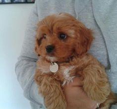 Cavapoo- my next puppy I'm getting Teddy Bear Puppies, Baby Puppies, Baby Dogs, Pet Dogs, Dogs And Puppies, Maltipoo Dog, Cavapoo Puppies, Teacup Puppies, Puppys