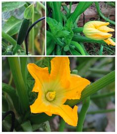 Zucchini Flowers but No Fruit! -- Zucchini female.jpg