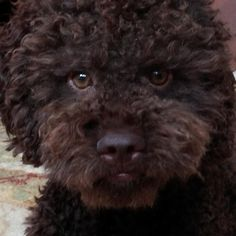 Lagotto Romagnolo information including personality, history, grooming, pictures, videos, how to find a Lagotto Romagnolo and AKC standard.