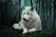 The white wolf is among the most unique animals in general and wolves in particular for its characteristics and the unusual features that can be found in i