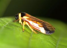 Froghopper  Known for their plant-sucking nymphs which encase themselves in froth in springtime, froghoppers are the best jumpers in the animal kingdom. The insects can jump up to 100 times their length, experiencing over 400 g (gravitational acceleration) during the jump.