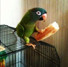 Conures like Pizza! (Crust anyway, maybe pineapples and a few other things. Do they have sunflower seed pizza?)