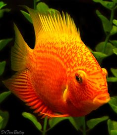 Red Spotted Severum Cichlid from the Amazon Rainforest. To see more click on ... http://www.AquariumFish.net/catalog_pages/cichlids_neotropical/cichlids_neotropical_table.htm#2980