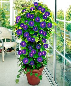 Tomato Plants Container pot with Morning Glory plant. - Add a vertical touch in your container garden by growing climbing plants for containers. Must see these 24 best vines for pots. Morning Glory Plant, Morning Glories, Morning Glory Flowers, Morning Sun, Flower Seeds, Flower Pots, Lawn And Garden, Garden Pots, Balcony Garden