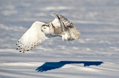 Picture from a news story about a rare Arctic owl migration to lower 48
