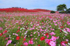 紅葉の前にコスモス!都心から日帰りで行ける関東の絶景コスモス畑10選 | RETRIP[リトリップ]