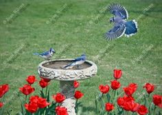 Spring Blue Jay Birds Fight at the Birdbath Red Tulips Nature Wildlife Original Fine Art Photography Photo Print