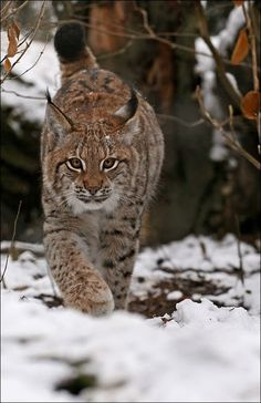 Lynx by gruenerapfelYou can find Lynx and more on our website.Lynx by gruenerapfel Iberian Lynx, Eurasian Lynx, Lynx Lynx, Bobcat Kitten, Big Cats, Cool Cats, Cats And Kittens, Nature Animals, Animals And Pets
