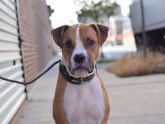 MERCY - A1084936 - - Brooklyn  Please Share:TO BE DESTROYED 11/23/16  A volunteer writes: Mercy me, does this sweet boxer-pit mix have a face to remember! Mercy's long legs, far-set eyes, and floppy little ears give him a unique (if not a little goofy) beauty that's tough to forget. Mercy had lived with the same owner since puppyhood, but was brought to us when his owner got sick and was unable to care for him. Mercy seems to be housetrained and pulls a little o