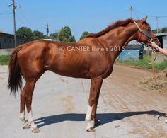 NEV'S LEGEND – 5yo chestnut gelding with chrome! Horses