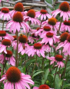 Also can't wait to grow echinacea. With it, chamomile & calendula, my front yard will be oh so colorful & healthy! Echinacea is an antibacterial & is very helpful during a flu or cold. It can also externally treat wounds. Also- it's native to the U.S.!