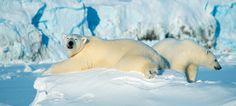 Polar bears at the Von Post Glacier on Svalbard, Norway - Photo: Venke Ivarrud/Spitsbergen Travel