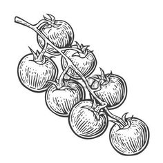 57449784-tomato-bunch-vector-engraved-illustration-isolated-on-white-background.jpg (450×450)