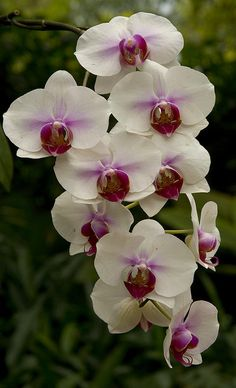 Singapore orchid. A possibility for my tattoo.   Beautiful flower.
