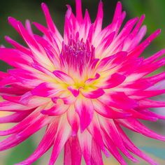 ~~Dahlia by marianboulogne~~I planted this one cant wait for it to bloom:) - Gardening Life Today Exotic Flowers, Amazing Flowers, Colorful Flowers, Beautiful Flowers, Dahlia Flower, My Flower, Peony, Parc Floral, Caran D'ache