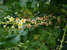 Boswellia sacra (commonly known as frankincense or olibanum-tree)[5] is a tree in the Burseraceae family. It is the primary tree in the genus Boswellia from which frankincense, a resinous dried sap, is harvested. It is native to the Arabian Peninsula (Oman, Yemen), and northeastern Africa (Somalia).[5]