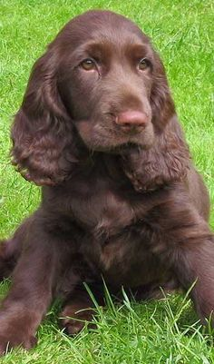 Best Field Spaniel Dog Names Best Field Spaniel Dog Names Source by buzzsharercom The post Best Field Spaniel Dog Names appeared first on McGregor Dogs. Boykin Spaniel, Spaniel Breeds, Cocker Spaniel Puppies, Springer Spaniel, Spaniels, Field Spaniel, Chocolate Cocker Spaniel, Dog Breeds That Dont Shed, Female Dog Names