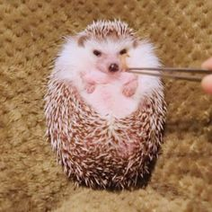 "Comment ""CUTE"" in your language! 😍 By Art World, Animals Beautiful, Congratulations, Hedgehog, Language, Cute, Artist, Instagram, Animal Crackers"